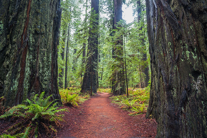 Redwoods, California USA